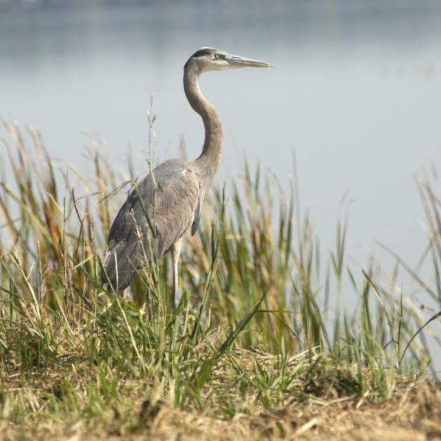 Great blue heron, Ardea herodias, standing in marsh grasses in Magnolia Park on the shore of Lake Apopka in Florida.