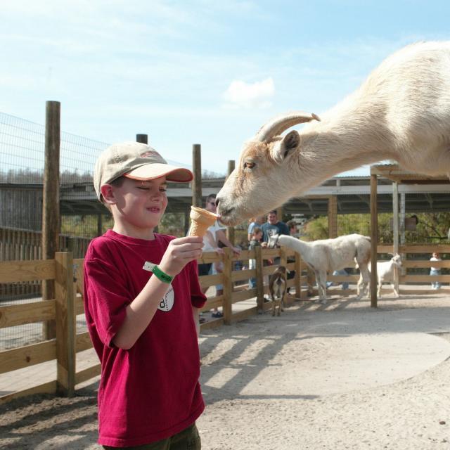 Gatorland boy feeding goats
