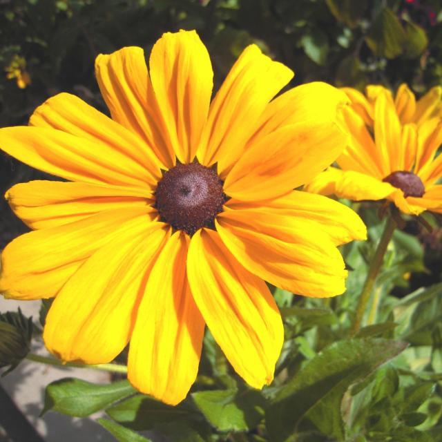 Harry P. Leu Gardens yellow flower
