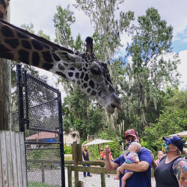 Central Florida Zoo & Botanical Gardens  dad and child feeding giraffe