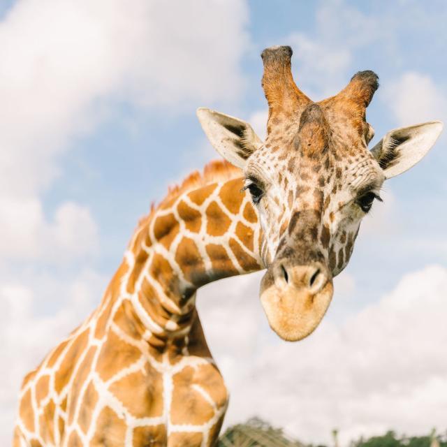 Wild Florida Airboats, Gator Park & Drive-thru Safari giraffe