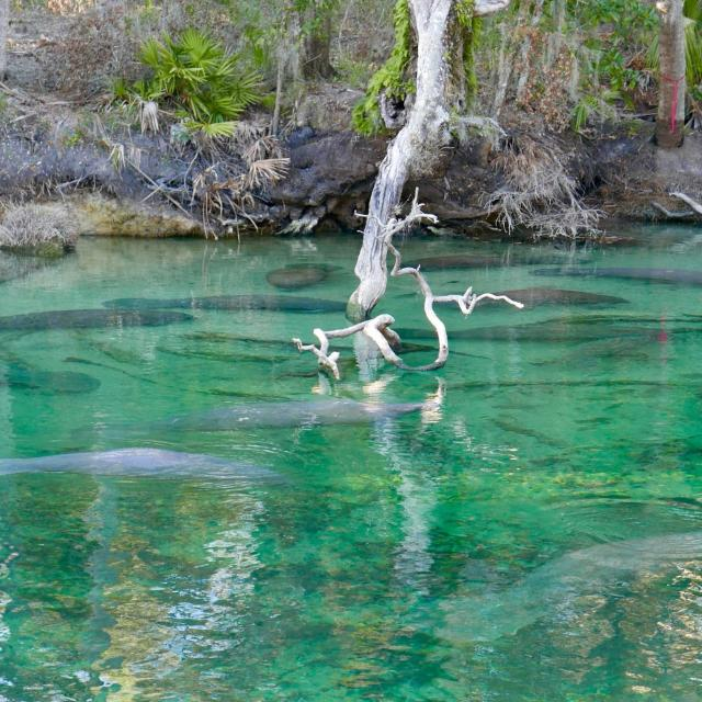 Group of manatees under shallow turquoise water at Blue Spring state park in Orange City, Florida, USA
