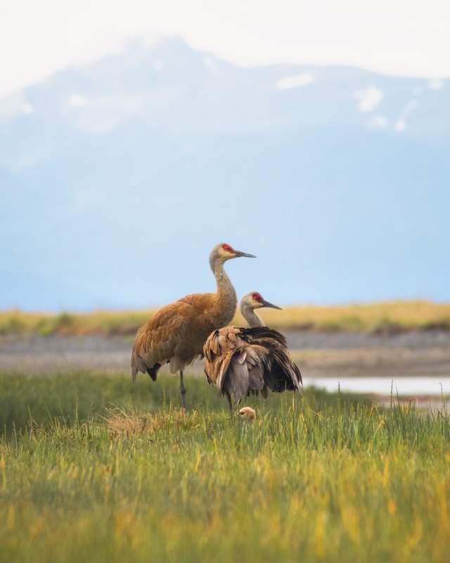 Sandhill Cranes by Sergius Hannan Photography