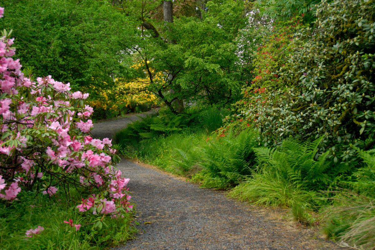 Rhododendrons in Hendricks Park in Spring by Vern Rogers