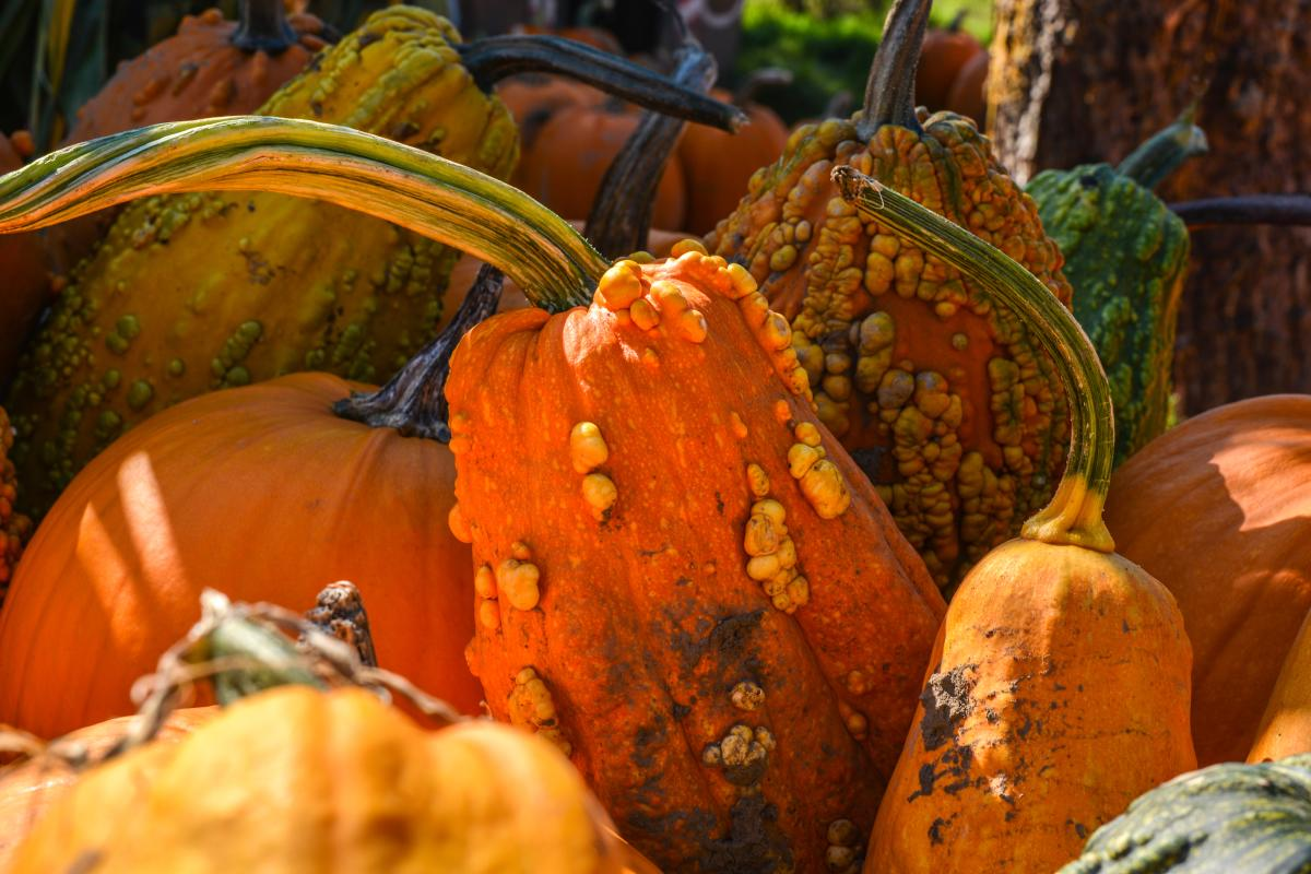 a Variety of pumpkins sit in the sunlight at Herrick Farms