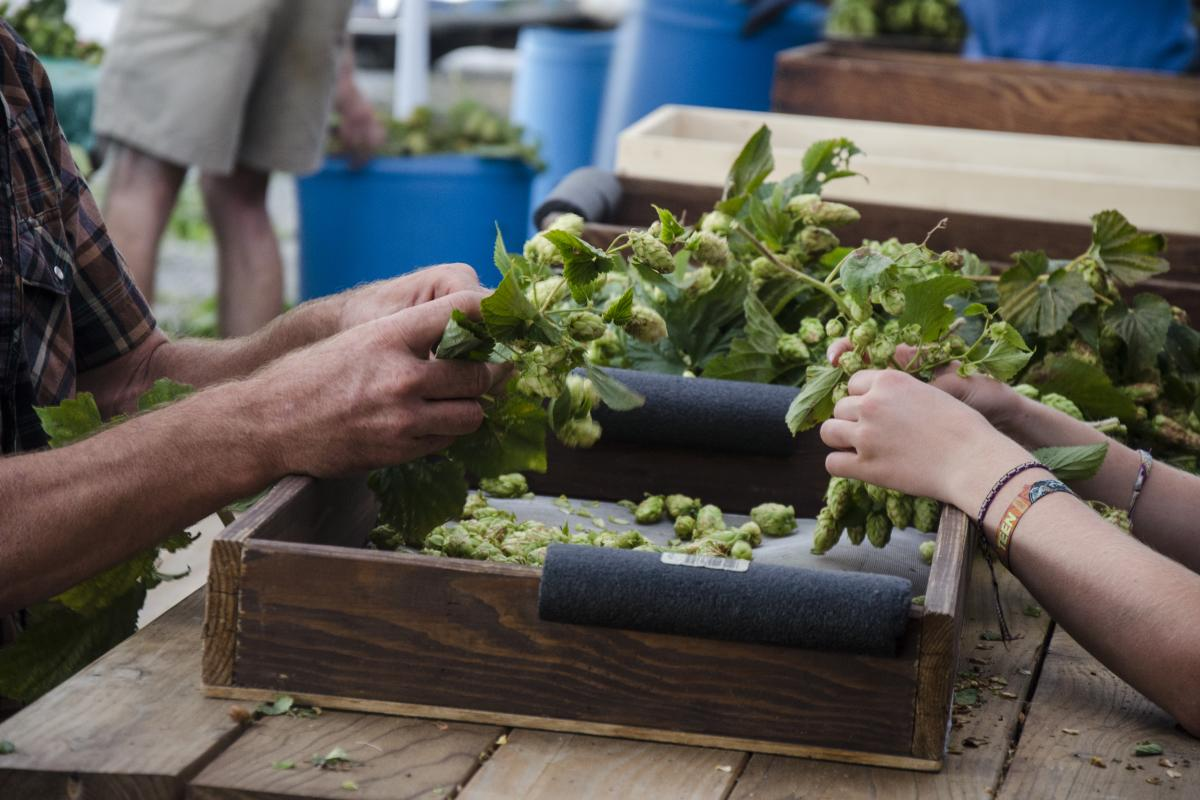 Hops Picking at Agrarian Ales Brewing Company by Katie McGuigan