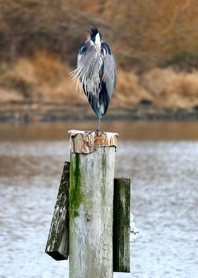 Great Blue Herron on piling