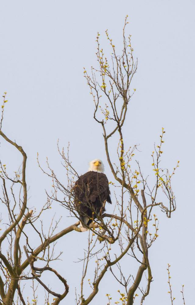 An eagle sitting in a tree during the spring time at St. Patrick's County Park