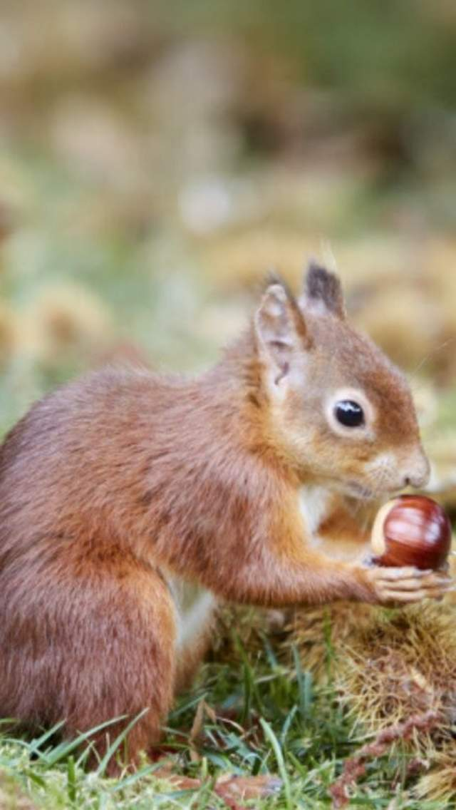 Red squirrel with a conker on Brownsea Island