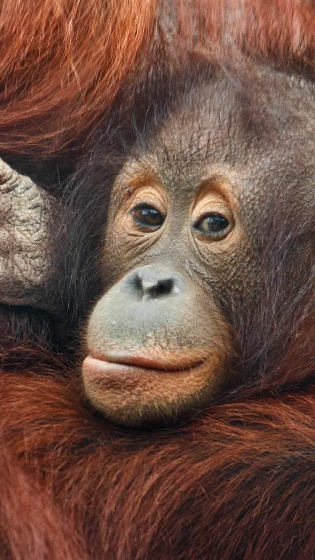 A young orangutan in the arms of an older orangutan
