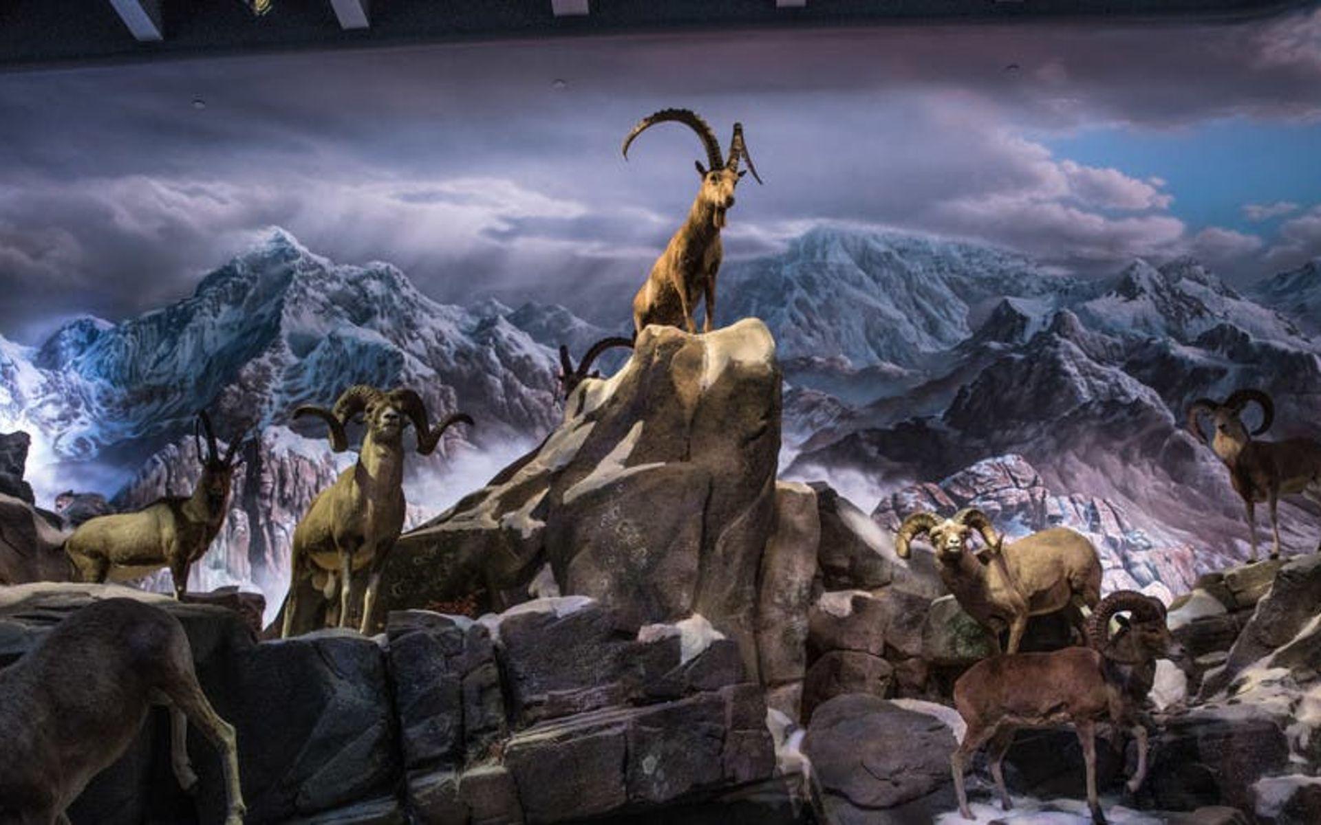 Wonders of Wildlife Sheep Exhibit