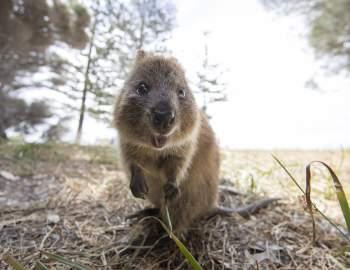Quokka, copyright Tourism Western Australia