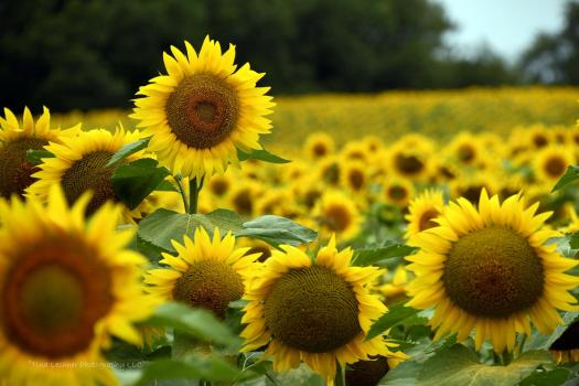 Sunflower, field, sunny, summer