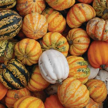 A collection of mini-pumpkins on display