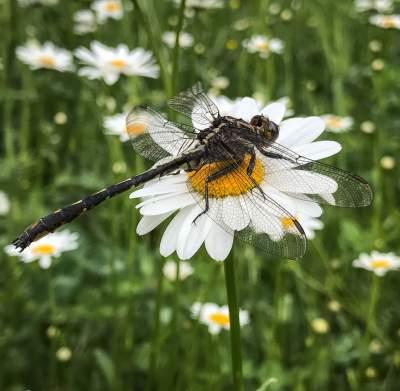 Daisy & Dragonfly