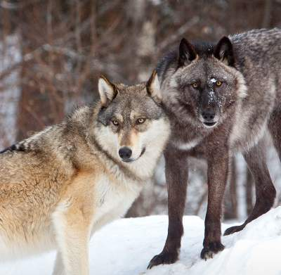 Wolves at International Wolf Center