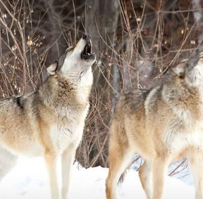 International Wolf Center - Wolves Howling