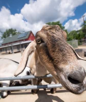 Goats Henry Vilas Zoo