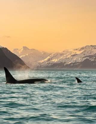 Orca pod swimming in rez bay