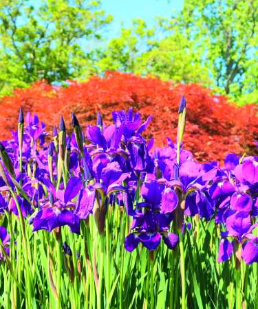 Irises at Ladew