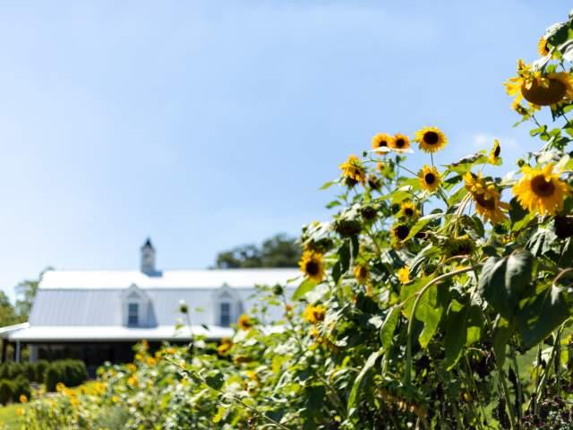 Sunflower Hill Farm Sunflowers