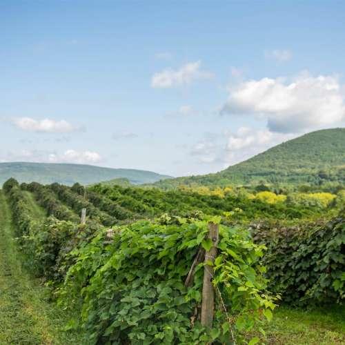 Finger Lakes Vineyards