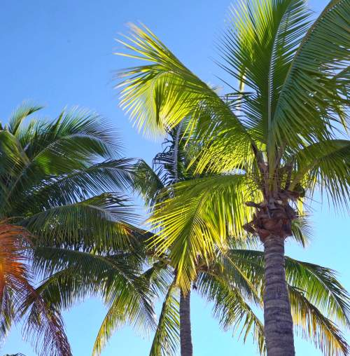 Some beautiful palm trees in Miami