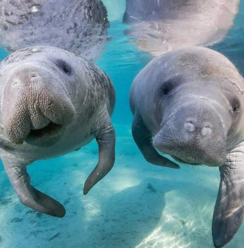 For prime manatee watching, head to Blue Spring State Park or Homosassa Springs Wildlife State Park.