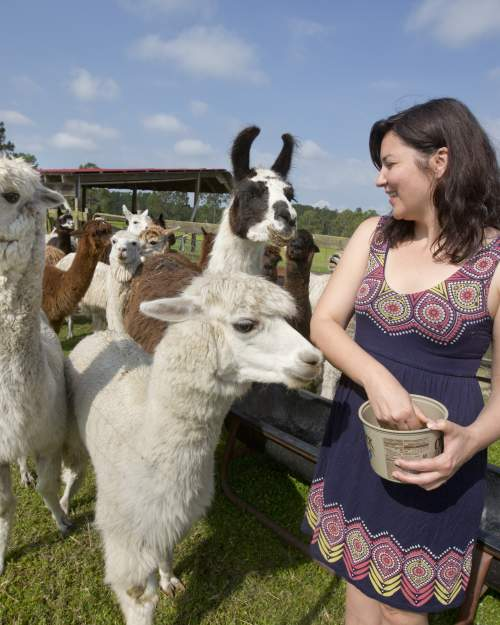 Feeding alpacas and learning how to knit on a loom are part of the fun at Chantilly Ridge, a working alpaca farm in Port Orange.