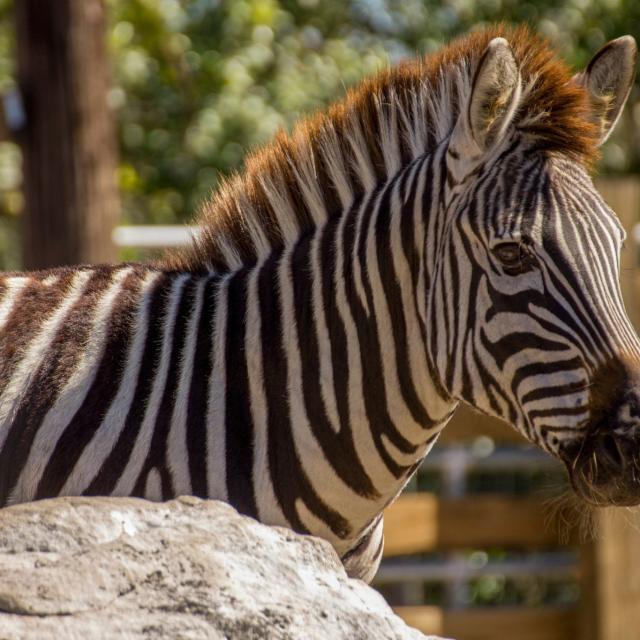 Wild Florida zebra closeup