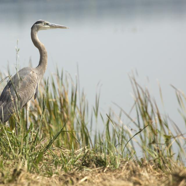 Great blue heron, Ardea herodias, standing in marsh grasses in Magnolia Park on the shore of Lake Apopka in Florida.