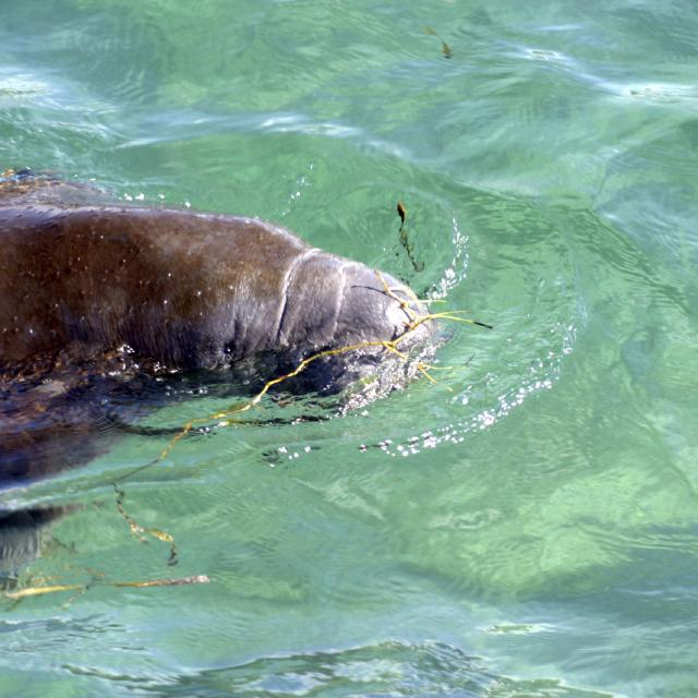 A manatee floats with its snout above crystal clear Florida spring water