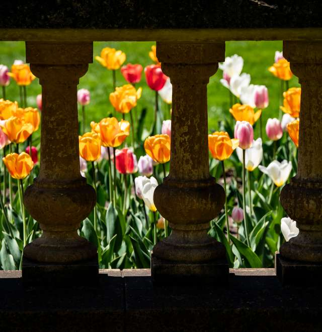 Paine Columns Tulips
