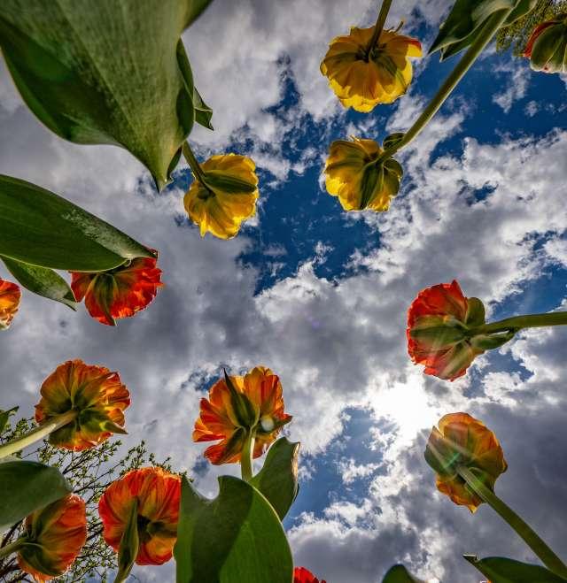 Paine Tulips