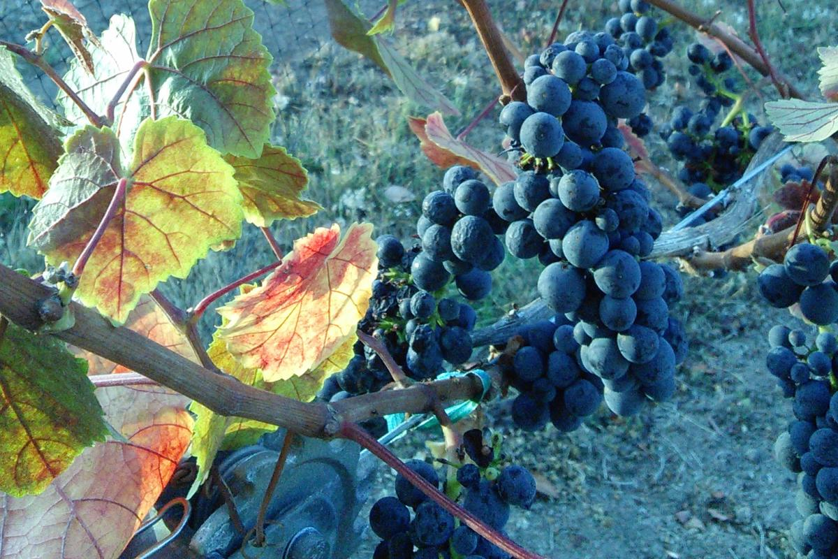 Noble Estate Vineyard Grapes in Fall by Amy Shadell