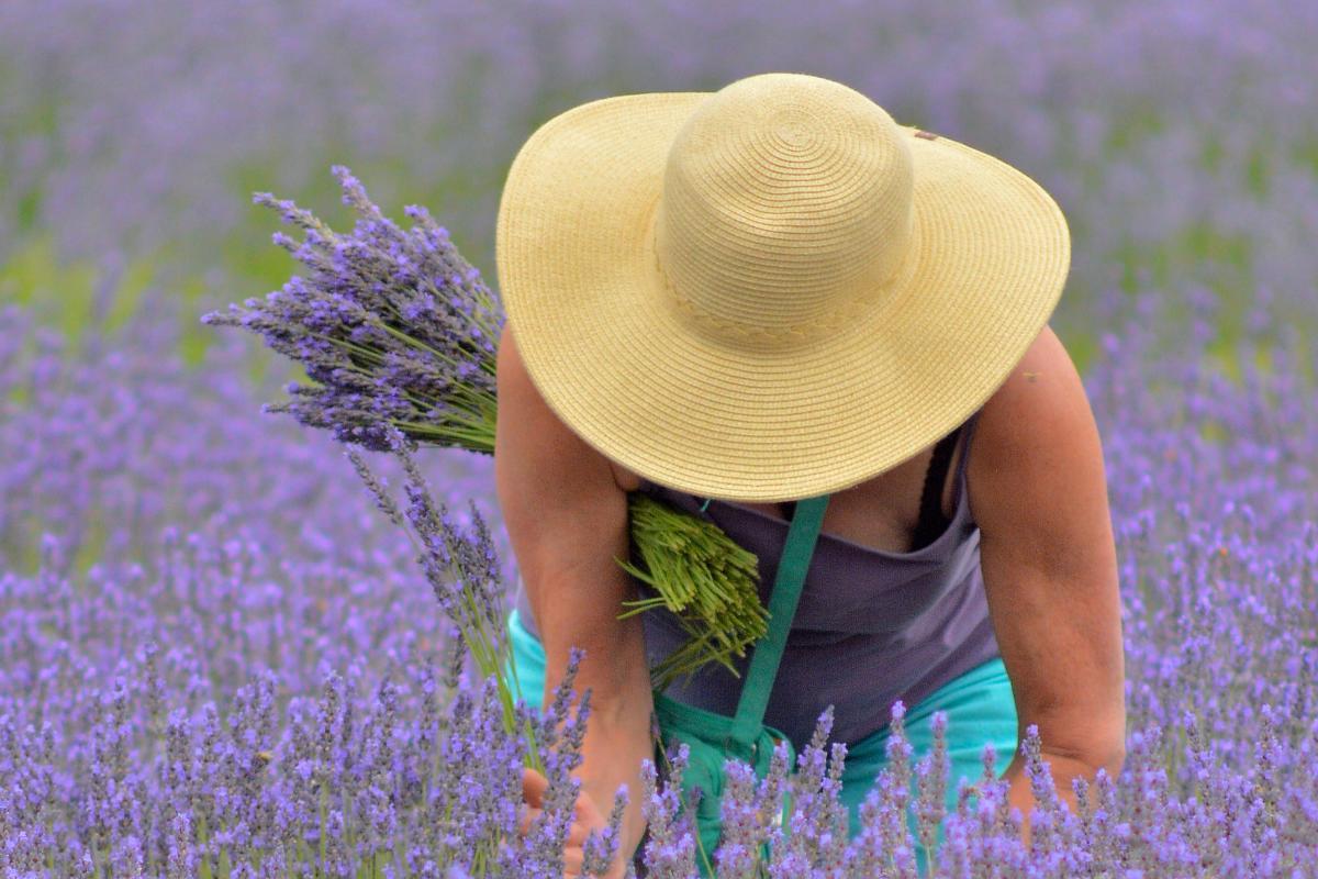 Lavender Festival, McKenzie River by Thomas Moser