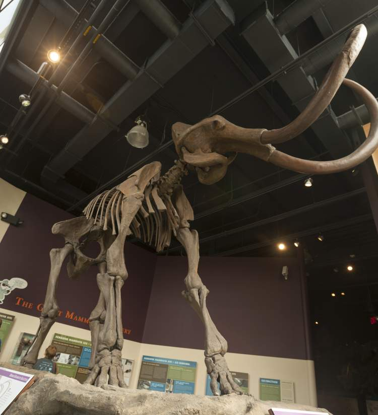 Mammoth skeleton at the Kenosha Public Museum