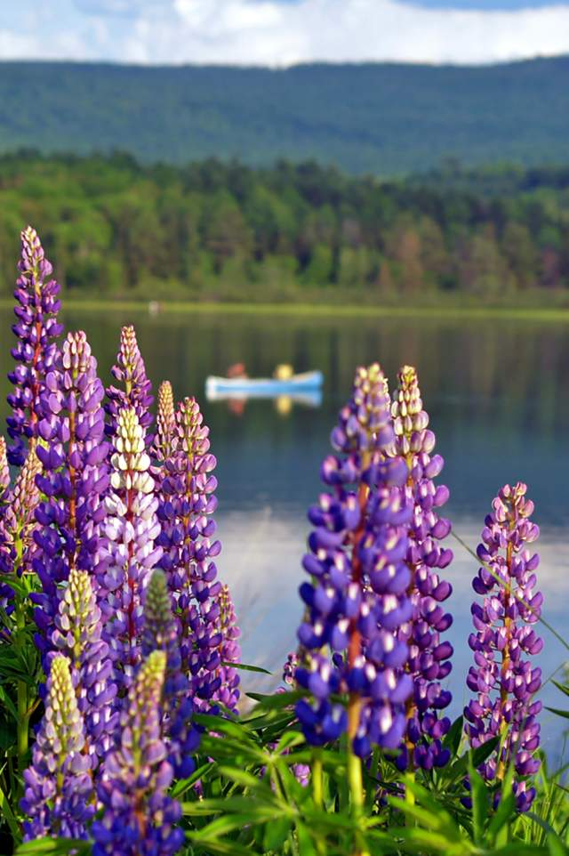 Lupines in the White Mountains