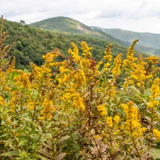 Goldenrod on the Blue Ridge Parkway near Asheville, NC