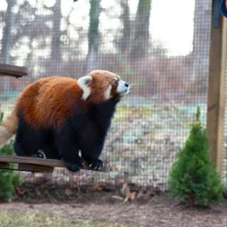 Red Panda Exhibit at WNC Nature Center