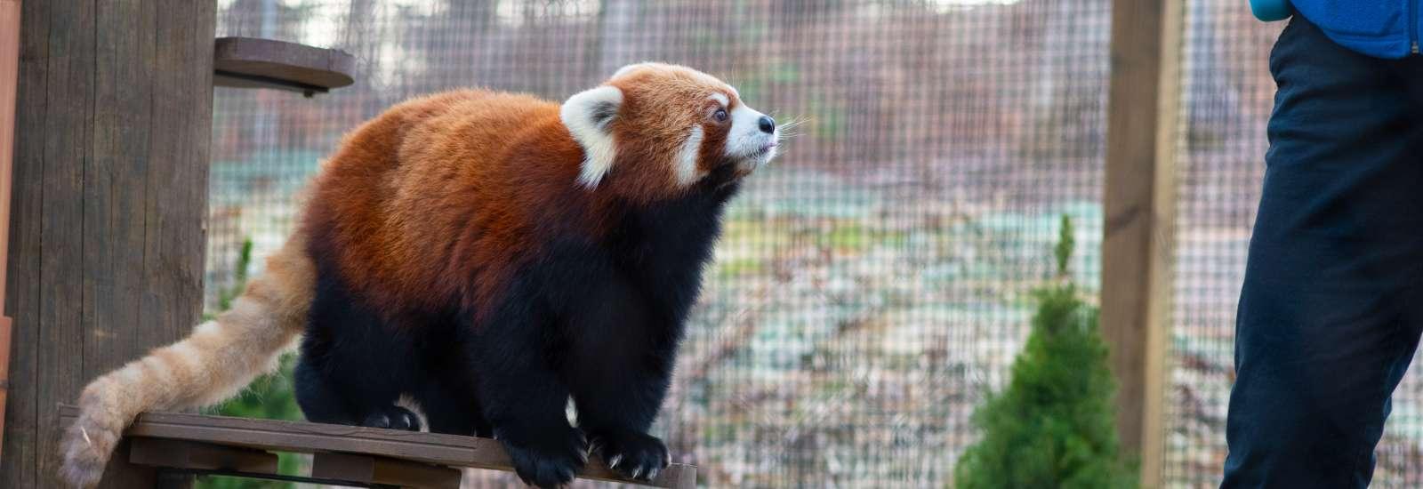 Red Panda Exhibit at WNC Nature Center