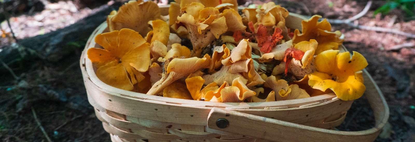 Basket of wild mushrooms
