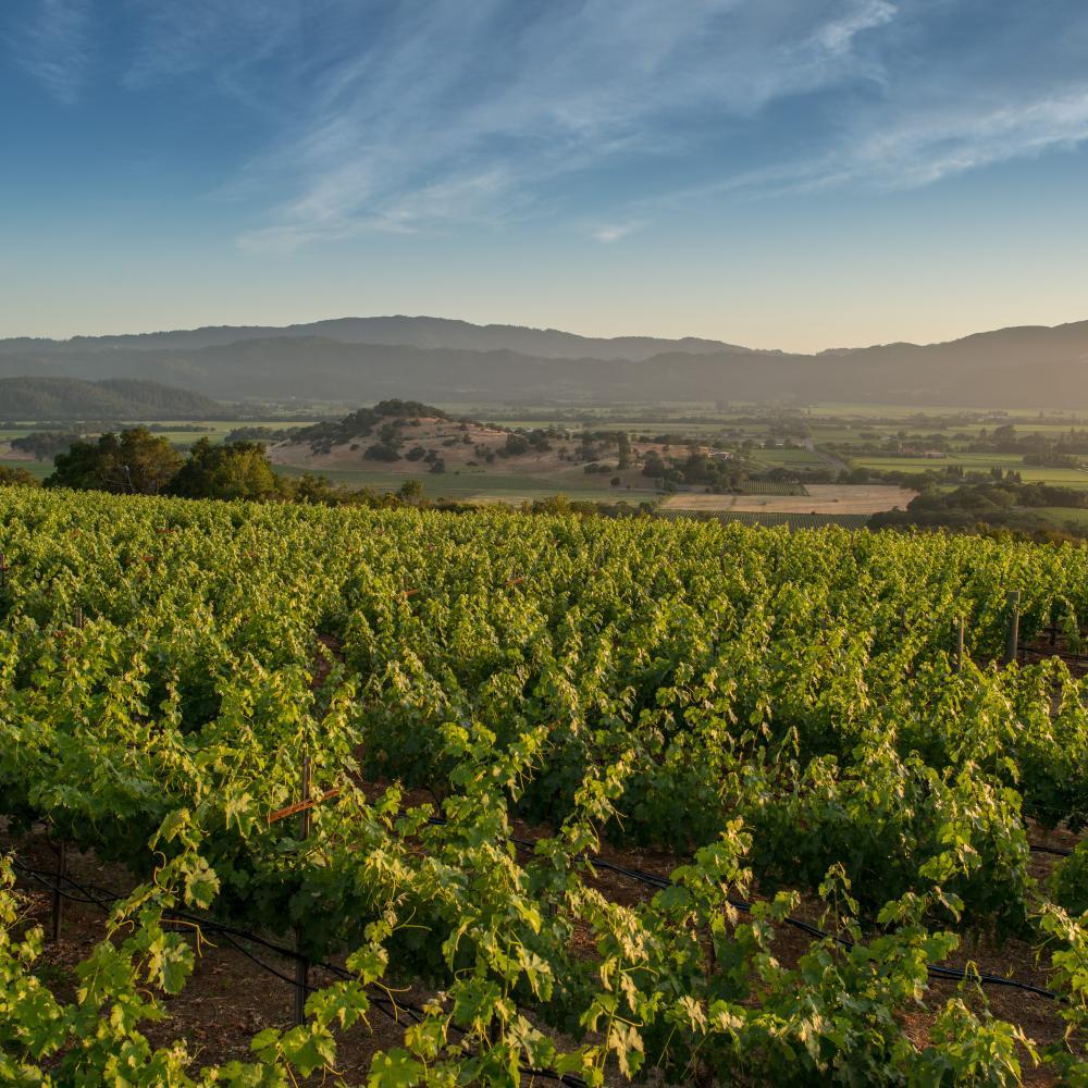 Summer in Napa Valley vineyard