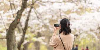 Woman taking photos of Cherry Blossoms at Trinity Bellwoods Park in Toronto