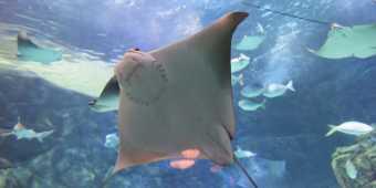 Stingray at Ripley's Aquarium of Canada