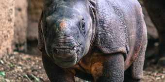 toronto-zoo-rhinoceros-calf