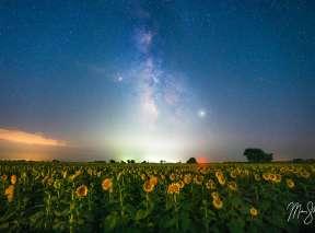 Sunflower Milky Way at Klausmeyer Sunflower Farm