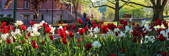Herman B Wells Statue behind a sea of tulips in Bloomington, IN