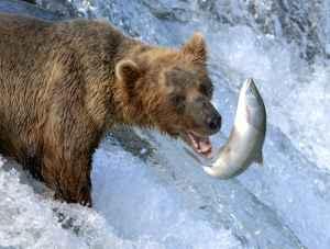 Brown bear fishing for salmon