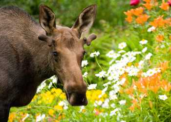 Moose wildlife viewing in Anchorage, Alaska during summer